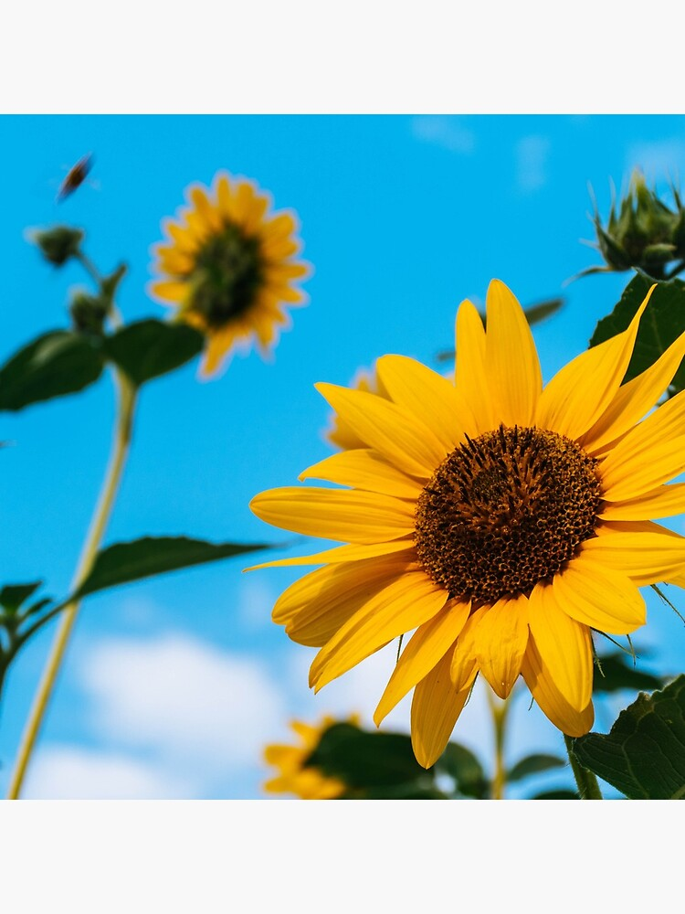 Sunflower and blue sky by franceslewis