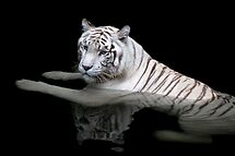 White Tiger, Singapore Zoo by Cathy Grieve