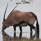 Oryx gazella - gracious by christopher363