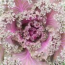 Frilly Ornamental Cabbage by MarjorieB
