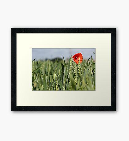 Poppy amongst the wheat Framed Print