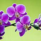 Orchidflies Dedicated to JJ by Ann J. Sagel