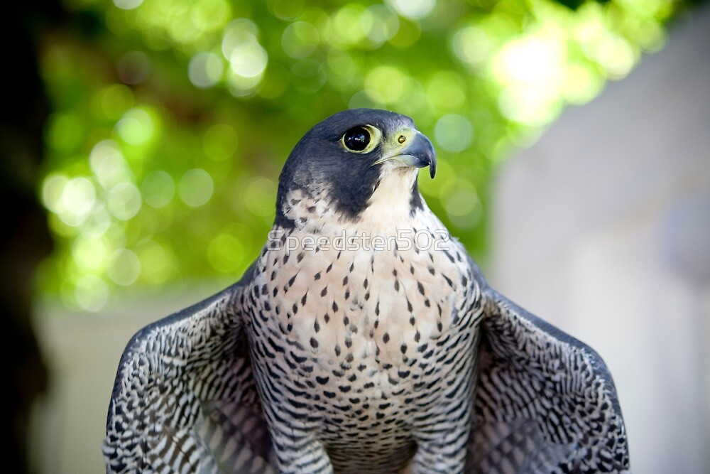 Posing Peregrine Falcon by Speedster502