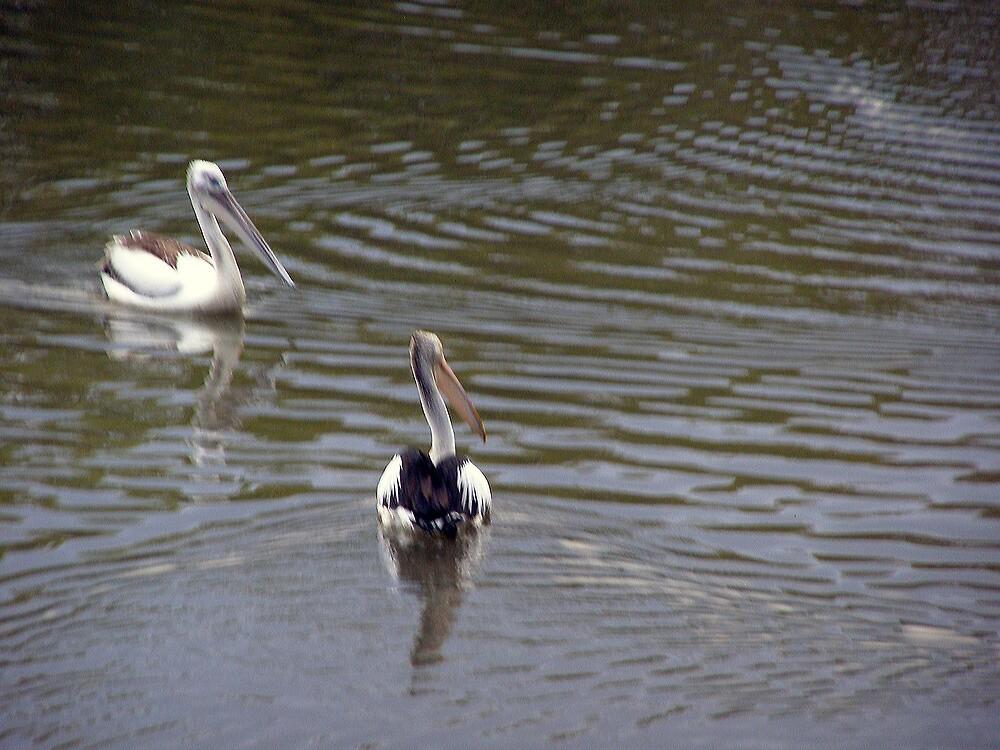 Pelicans by pejay