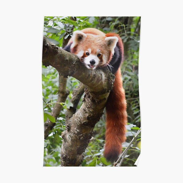 Chilling Red Panda style Poster