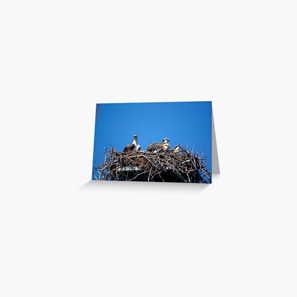 Osprey Family Grußkarte