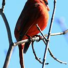 Northern Cardinal by Erik Anderson
