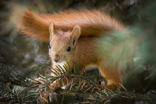Baby Squirrel in the fur tree by Sergey Bezberdy