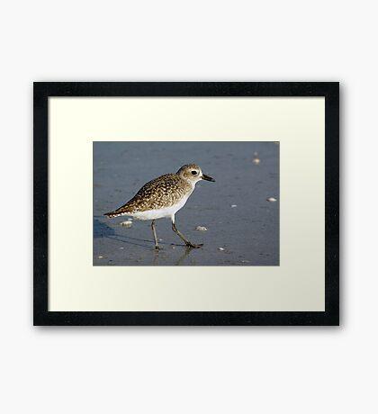Sanderling Framed Print