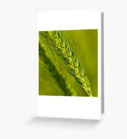 Study of Barley Crop Greeting Card