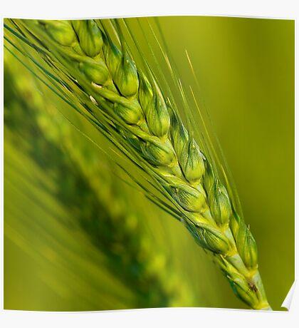 Study of Barley Crop Poster