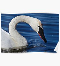 Testing The Water - Trumpeter Swan Poster