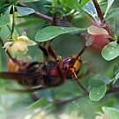 European Hornet, Giant Hornet~Vespa crabro  by Bonnie Robert