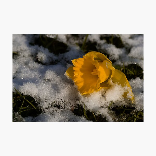 Daffodil in winter Photographic Print