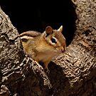 Chipmunk in tree hole - Ottawa, Ontario by Michael Cummings