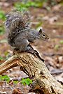 Gray Squirrel - Ottawa, Ontario by Michael Cummings