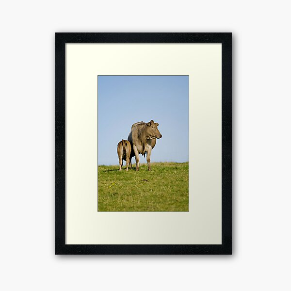 Grey cow and calf - St Bees Framed Art Print