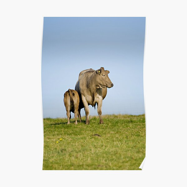 Grey cow and calf - St Bees Poster