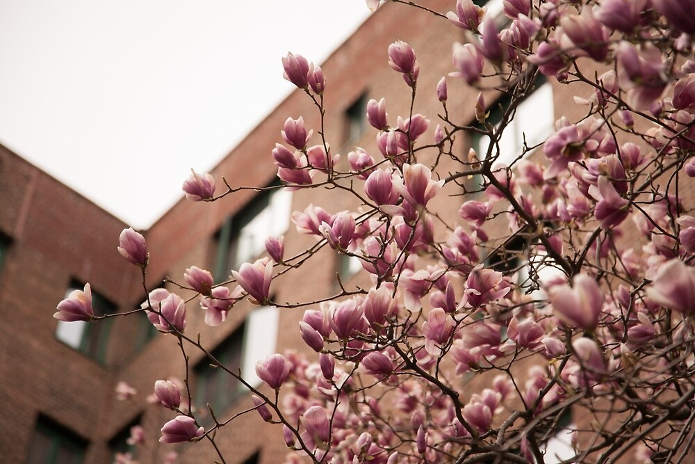 Parkchester Magnolia by W. Lotus