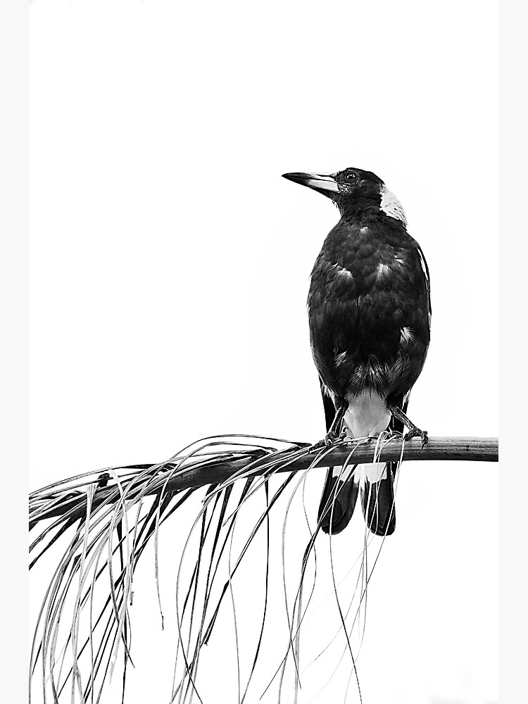 Magpie by fardad
