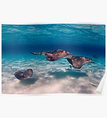Flight of Rays, Sting Ray City, Grand Cayman, 2008 Poster