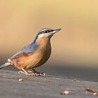 Nuthatch in the sun  by John Lindsey Wildlife Photography