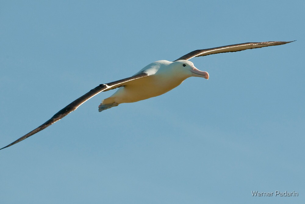Royal Albatross by Werner Padarin