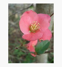 Flowering quince Photographic Print