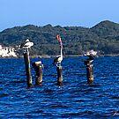 Pelicans at Walpole in Western Australia by JuliaKHarwood