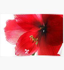 Amaryllis Blossom Poster
