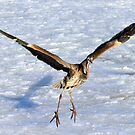 """The """"Great Blue Heron"""" Pt. 2 by Erik Anderson"""