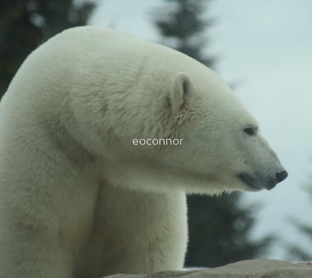 Polar Bear Up close by eoconnor