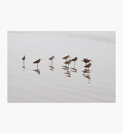 Marbled Godwit Photographic Print