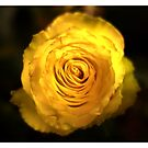 Fiery yellow rose on black by A little more Whirl