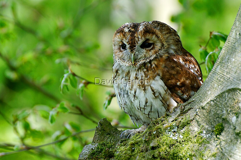 Tawny Owl in woodland by David Carton