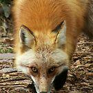 Foxy Man by starbucksgirl26