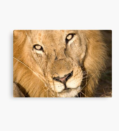 Male Lion - Here's Lookin' At Ya Canvas Print