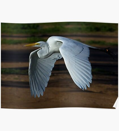 030710 Great White Egret Poster