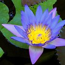 Water Lily 2 by Jason Kiely