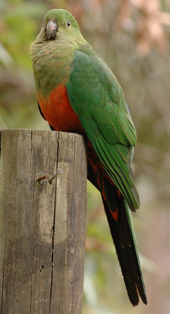 Female King Parrot 1 by Hippo