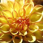 A Gorgeous And Beautiful Dahlia by hurmerinta