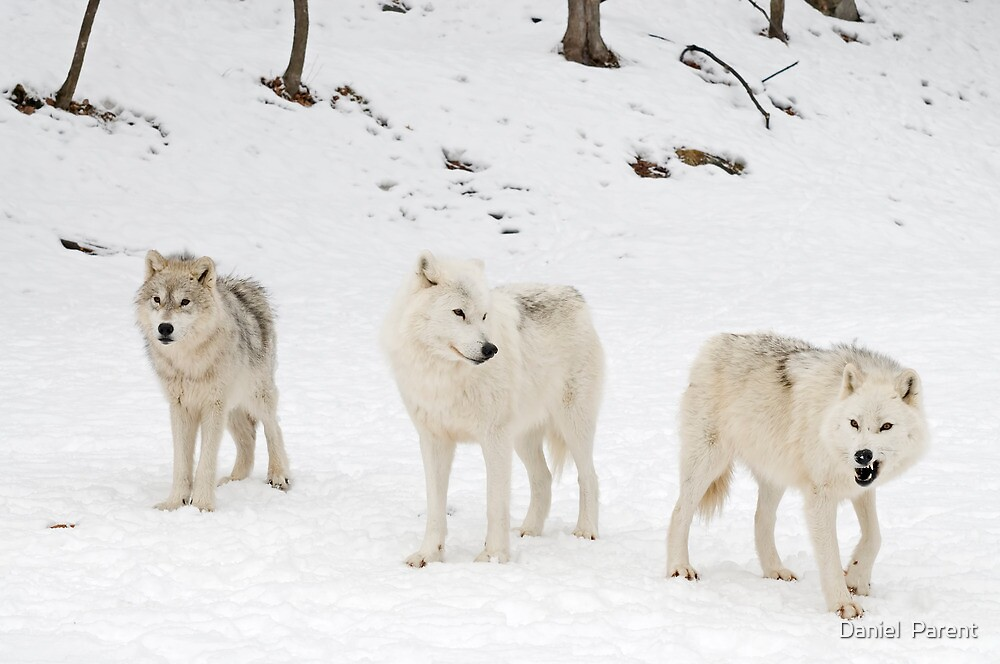 Three Bad Wolves by Daniel  Parent