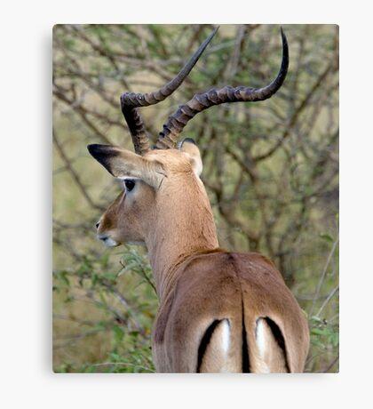 Watchful Impala Buck Canvas Print