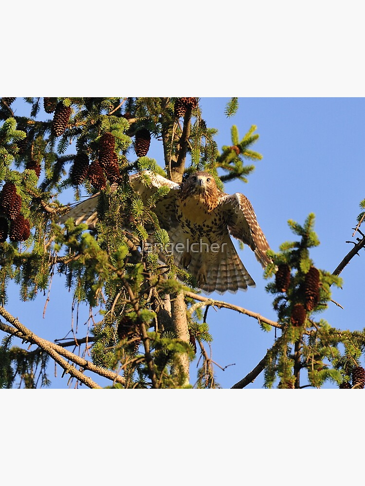 Juvenile Red-Tailed Hawk by angelcher