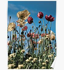 Pale poppies Poster