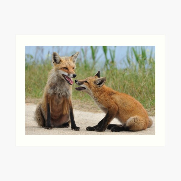 Red Fox and Kit Art Print
