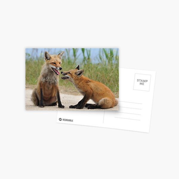 Red Fox and Kit Postcard
