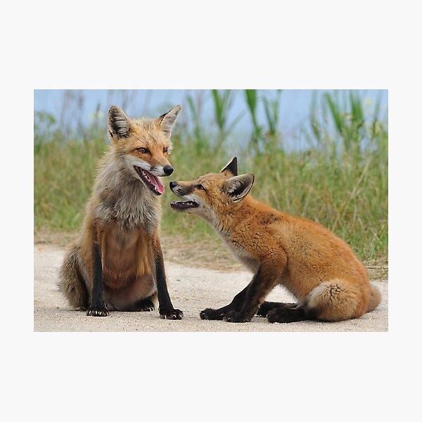 Red Fox and Kit Photographic Print