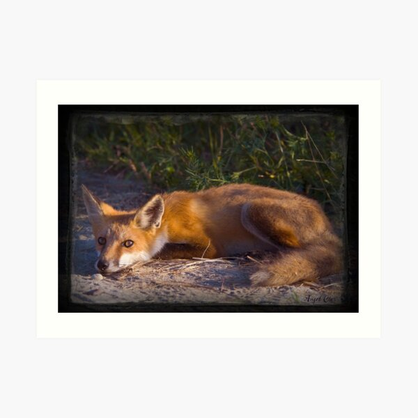 Red Fox Waiting and Watching Art Print