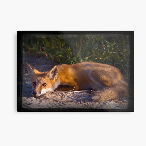 Red Fox Waiting and Watching Metal Print